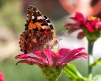 butterfly 005
