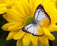 butterfly 009