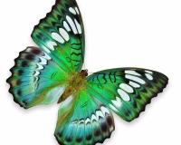 butterfly 014