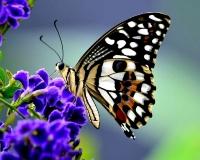 butterfly 015