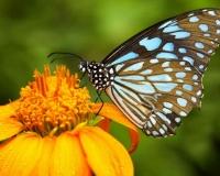 butterfly 018
