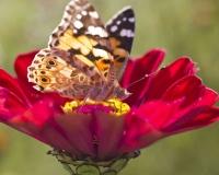 butterfly 021